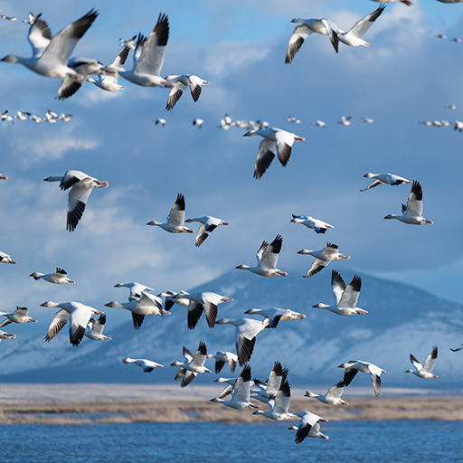 Migration of snow geese